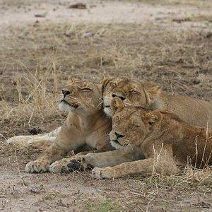 Lion Family Ruaha Tanzania