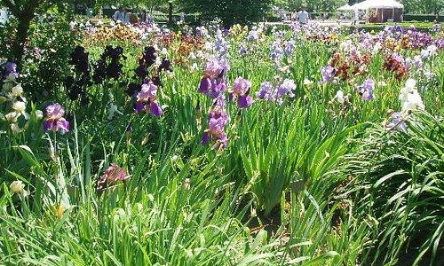 Parterre d'iris en mai