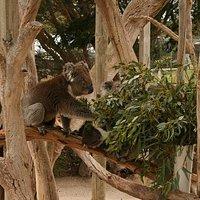 Koalas at Urimbirra