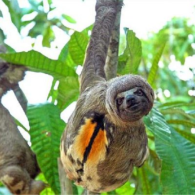 Sloths, with Dawn on the Amazon