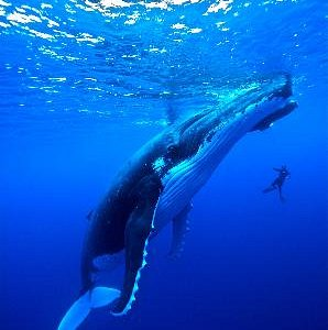 Humpback whales/Baleines à bosse. (c) TIM-MCKENNA.COM