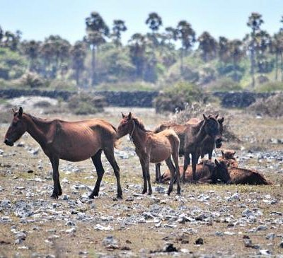 Wild horses bred by Dutch for trade are still seen around the northern part of Delft island