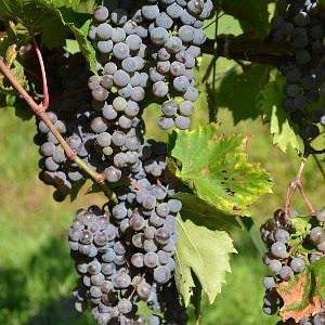Frontenac Gris Grapes
