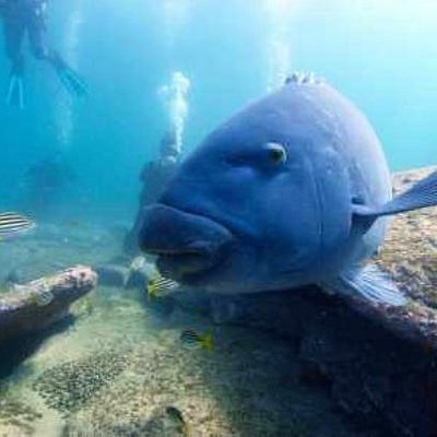 Blue Gropers often seen ou our dives