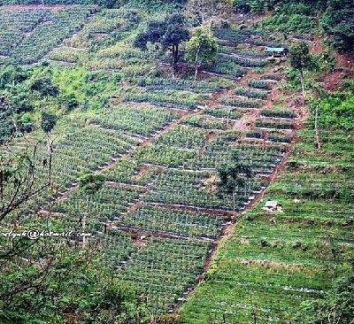 Vegetable Plantation in Dago Pakar