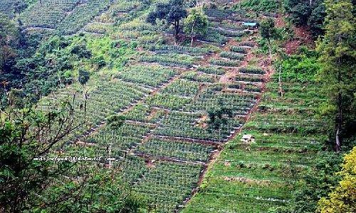 Vegetable Plantation in Dago Pakar