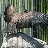 Condor im Condorpark Otavalo