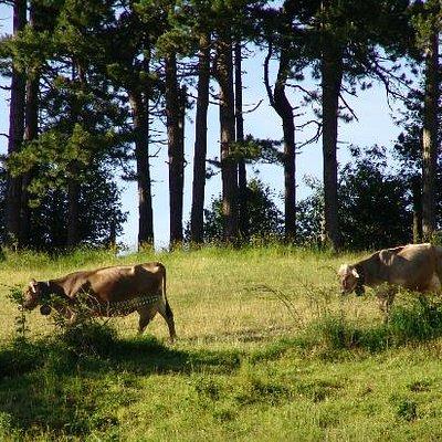 il rientro delle mucche per la mungitura